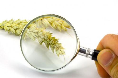 Weizen Ernte Ernteschätzung (Fo)